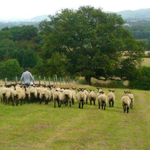 Elwyn Powell founder of FarmFlock with flock of sheep