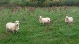ryeland sheep1